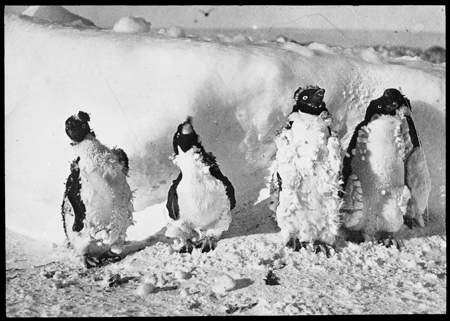 Moulting Adélie penguins affected by blizzard, Cape Denison, 1912