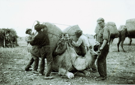 Camel being loaded photo