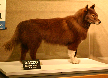 Balto the dog stuffed and on display at the Chicago Natural History Museum
