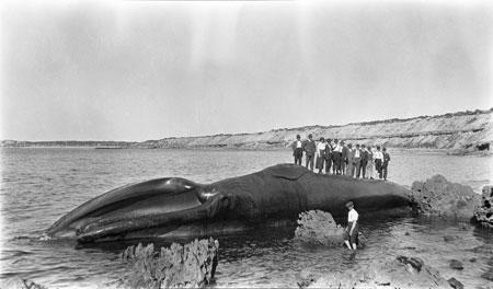 The Antarctic blue whale stranded at Corvisart Bay, South Australia, September 1918