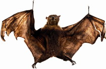 Macleay flying bat