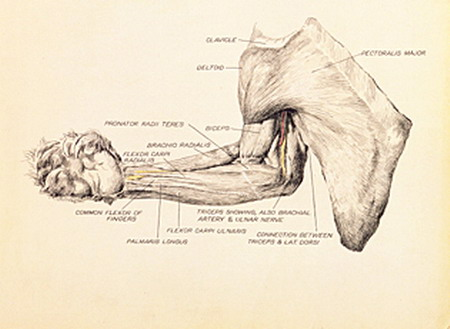 Victor Cobb's drawing of the dissected chest and arm of a koala