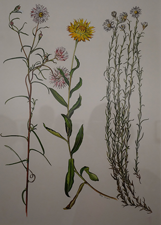 Waddell Everlasting – original by Elizabeth Conabere prepared for plate in Wildflowers of South-Eastern Australia, as displayed at the Jean Galbraith and Friends exhibition