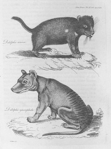 Engraving of Didelphis cynocephala and Didelphis ursina in Transactions of the Linnean Society