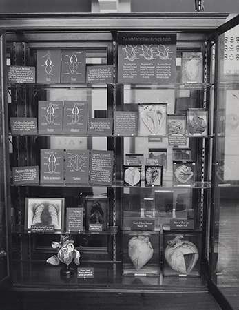 Phar Lap's heart displayed next to the heart of an army remount at the Australian Institute of Anatomy