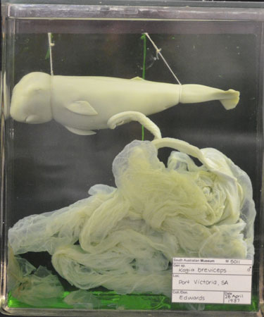 Preserved foetus of a pygmy sperm whale collected in April 1937 at Port Victoria, Spencer Gulf, South Australia, when the mother stranded and died