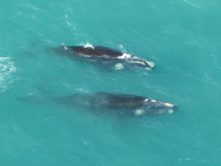 Images in the South Australian Whale and Dolphin Sighting Database, such as this one of southern right whales, are used for identifying individual whales over time