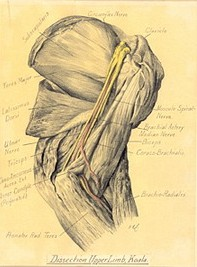Victor Cobb's diagram of the dissected upper limb of a koala