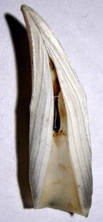 Acid-etching of teeth, such as this tooth of a 4-year-old fur seal, is a technique used to estimate the age of marine mammals
