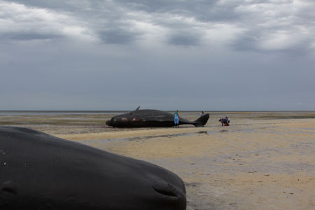 Eight sperm whales stranded alive at Ardrossan, Gulf St Vincent, South Australia, December 2014