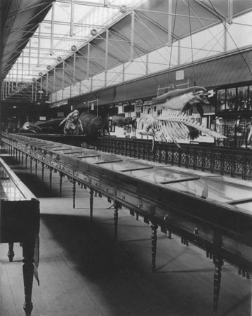 Marine mammals on display at the South Australian Museum, 1899