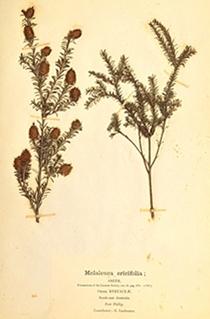 Melaleuca ericifolia in Mueller's third fascicle, 1876