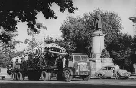 Large, articulated skeleton of a Bryde's whale being moved by truck along North Terrace for installation in the new whale pavilion created at the front of the South Australian Museum, 1960s