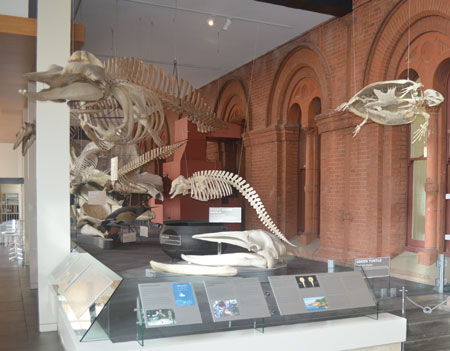 A pygmy sperm whale (centre of photo), the newest addition to the whale gallery in the renovated north wing