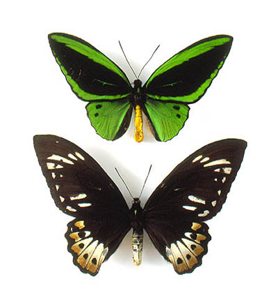 Male (top) and female (bottom) specimens of Ornithoptera priamus
