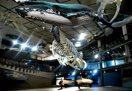A whale skeleton on display in the South African Museum