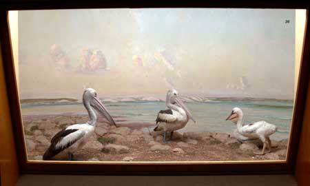 A diorama in the old bird gallery showing pelicans in the Coorong