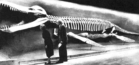 Fig. 14. Kronosaurus queenslandicus display at the Museum of Comparative Zoology, Harvard University, being examined by Alfred S Romer and a research assistant