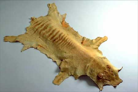 Tasmanian tiger skin, National Museum of Australia