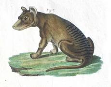 Thylacine engraving 1821