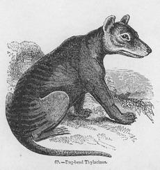 Dog-head thylacine 1850